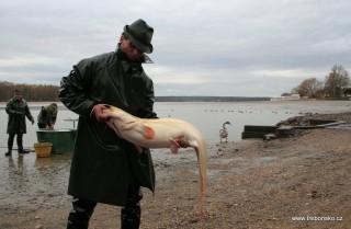 Pohled na právě vyloveného sumce velkého - albína při výlovu rybníka Svět 2006.