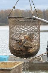 Pohled na obrovský keser, který nabírá ryby ze sítě a podává na třídičku.
