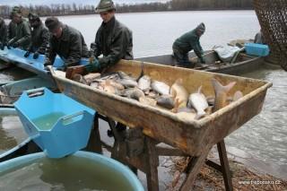Pohled na třídičku, kde se ryby přebírají - brakují podle velikosti a druhu.