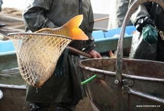 Pohled na kapra - velikána, který byl vyloven z rybníka Svět při výlovu na podzim 2006.