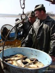 Jarní výlov rybníka Svět: nejhojnější lovenou rybou třeboňských rybníků je kapr.