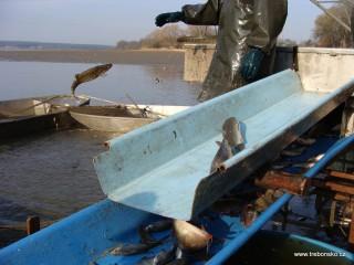Záběr z posledního dne výlovu. Rybář vrací rybu do rybníka Svět. A ryba letí!