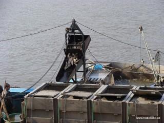 Vážená ryba je nakládána do přistavených aut