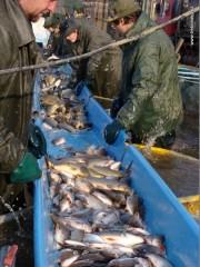 Po zjadření nastává vybírání ryby a brakace neboli přebírání a třídění ryb podle druhu a velikosti.