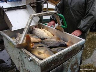 Tříděná ryba jde na váhu; poté bude naložena do přistaveného nákladního auta.