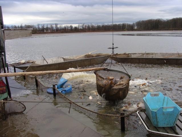 Výlov třeboňského rybníka pokračuje