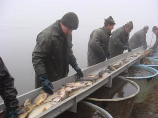 Třídění ryby z Rožmberka