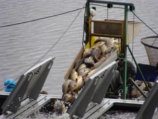 Nakládání ryby