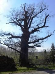 Památný dub v Mláce u kostela